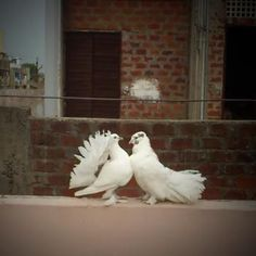 Love is a game that two can play and both win  Jabir Husain #Featured #Shuttographer #StaffPick #dove #doves #birds #animals Let your inner animal out Who doesn't love animals? Everybody does! For a chance to win a Moment Tele-Lens Kit – the best smartphone tele-lens available on the market today – in this mission we ask you to capture the animal world around us #AnimalLovers #ShuttaMission #ShuttaAnimals #ShuttaPets #wildlife #farmlife #pets #MomentLens #TeleLens