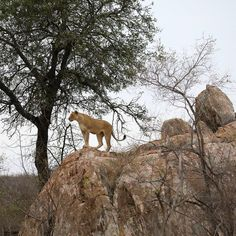 Lioness standing on boulder in the Kruger National Park Kruger National Park, National Parks, Cool Pictures, Cool Photos, Cat Activity, Male Lion, Most Beautiful Animals, Rare Animals, Wild Dogs