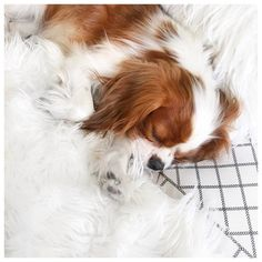 """Sleeping Cavalier King Charles Spaniel puppy - Lee Rachel (@leerachel) on Instagram: """"Goodnight lovelies """""""