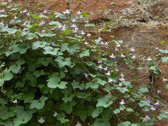 Flora Croatica: Cymbalaria muralis G. gaert. ...