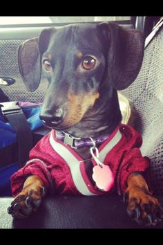 Sawyer the Aggie :D I love this wiener dog more than life