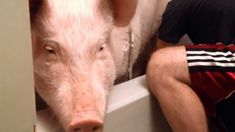 "Bathtime with Esther the Wonder Pig: Esther is some pig. She was misrepresented as a ""micro pig"" and sold to Steve and Derek in the Summer of 2012.  She was just 4 pounds, and in under 2 years she grew to be 500 pounds!  Derek and Steve kept Esther anyways.  She was accustomed to home life, and so the whole family went on an adventure of a lifetime."