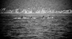 Get my 7 FREE basic photography tips - you NEED to know right here; http://pw5383.wixsite.com/free-photo-tips | Photographer Pernille Westh | Orcas photographed near Vancouver Island, Canada