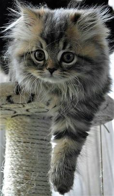 Cute Kittens Doing Funny Things Cute Cats And Kittens Cute Kittens, Cutest Kittens Ever, Kittens And Puppies, Fluffy Kittens, Persian Kittens, Siberian Kittens, Fluffy Cat, Animals And Pets, Baby Animals