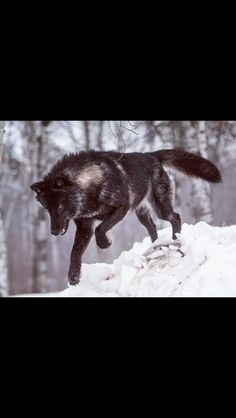 A black wolf on the hunt with a white heart