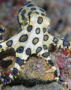 Greater blue-ringed octopus - only 5-7 mm and has the deadliest toxin that attacks the neuro-system.