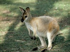 Wallabies are members of the kangaroo clan found primarily in Australia and on nearby islands. There are many wallaby species, grouped roughly by habitat: shrub wallabies, brush wallabies, and rock wallabies. Hare wallabies are named for their size and their hare-like behavior. Wallaby Facts - National Geographic