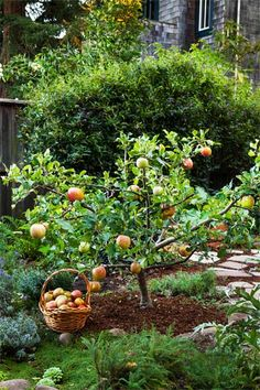 See our ingenious pruning method for growing an orchard in a small backyard. Shown: Kept small with timed pruning, this 'Fuji' apple tree stands about 4 feet high and wide and produces an ample crop of full-size fruits.