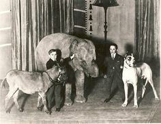 In the old days, elephant trainers were not what they are these days. Elephants were routinely poorly trained, which translated to unhappy and rogue. Ziggy the elephant wound up nearly killing his trainer in later life at a zoo. This photo is of Mitzi with the Singer midgets.
