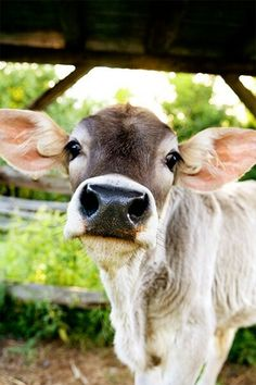 i don't love farm animals but this cow is the cutest thing on earth. Cute Baby Animals, Farm Animals, Wild Animals, Beautiful Creatures, Animals Beautiful, Regard Animal, Cute Cows, Funny Cows, Tier Fotos