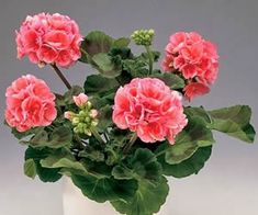 Pelargonium x hortorum - geranium; Love Flowers, My Flower, Flower Pots, Flowers Perennials, Planting Flowers, Geranium Plant, Potted Geraniums, Bonsai Plants, Plantar