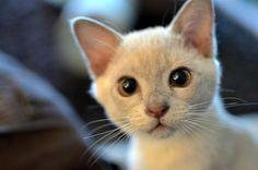Alvin the lilac burmese kitten | Flickr: Intercambio de fotos