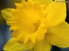 Daffodil in A wink and a smile