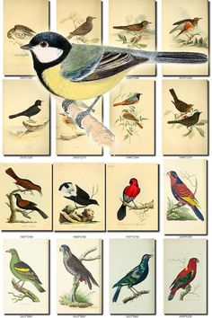 BIRDS-101 Collection of 108 vintage pictures Tit Titmouse