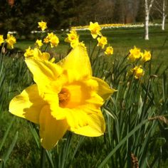 Narcissus - Wisley RHS