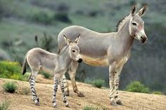 African Wild Ass or African Donkey is nearly extinct in wild due to hunting, interbreeding and use in traditional medicines. Found in small numbers in Eastern Africa, extinct in Northern Africa. Animal Facts, My Animal, Animal Antics, Donkey Breeds, Baby Animals, Cute Animals, Wild Animals, Desert Animals, Wild Mustangs