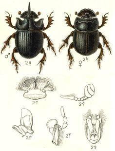 Scarabaeus bifidus