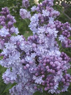 I love these! Lilacs smell so good. I would love to have one right outside my window, so that when a breeze comes thru, so does the scent of lilacs