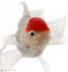 【赤・白・黒・青・茶】金魚の色がどうやって出来るのか調べてみた | raspberry republic