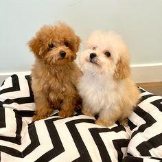 Maltipoo Breeders, Maltipoo Puppies For Sale, Maltipoo Dog, Pomeranian, Poodles, Maltese, Dogs, Animals, Animales