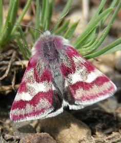 Pink and White Moth - Eutricopis nexilis