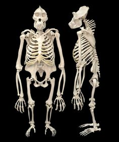 gorilla skeleton from behind Animal Skeletons, Animal Skulls, Skeleton Bones, Skull And Bones, Skull Reference, Drawing Reference, Religions Du Monde, Anatomy Bones, Dinosaur Skeleton