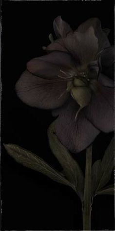 "Flowers In Neutral Moment-2 ""Christmas Rose"" Archival pigment print Photo by Soichi Oshika"