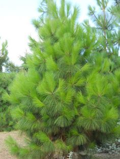 Pinus_canariensis