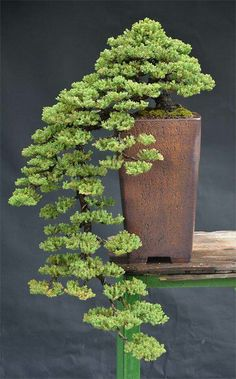 Flowering bonsai plants can be developed from seed or cuttings or also from young trees. Flowering bonsai plants require feeding, watering pruning and training. Bonsai Plants, Bonsai Garden, Garden Plants, Indoor Plants, Bonsai Trees, Pond Plants, Foliage Plants, Air Plants, Cactus Plants