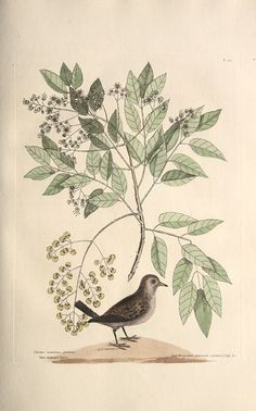 'Turtur Minimus Guttatus: The Ground-Dove; Zanthoxylum Spinosum, Lentisci, longioribus foliis Euonimi fructu capsulari ea Infula Jamaicensi. D. Banister: The Pellitory or Tooth-ach Tree' from 'The natural history of Carolina, Florida and the Bahama Islands: containing the figures of birds, beasts, fishes, serpents, insects, and plants. Vol I.'  (1754) by Mark Catesby.