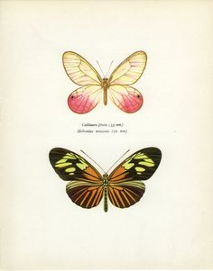 Vintage Butterfly Print, South American Brown (41) Prochazka, 1964, Lepidoptera, Frameable Art