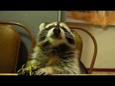 Raccoon eats grapes VIDEO - visit original to watch
