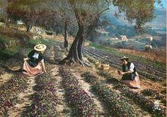 la culture de la violette à Tourrettes sur loup, Provence, cote d'azur