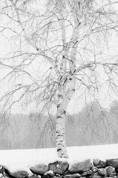 Birch Tree in Snow