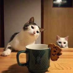"land-like-a-cat: ""メンチ切る人。クッキーには強気珈琲のお供に、ぶらさがりネコクッキーもらった♩ (by @naomiuno) Instagram photo | ICONSQUARE (formerly Statigram) """