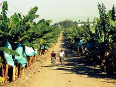Banana Plantation, Davao [Philippines]