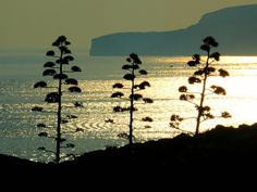Three agave plants standing sentinel over the cliffs of Gozo. Island of Comino, Malta Agave Plant, Malta, Island, Explore, Amazing, Places, Malt Beer, Lugares, Islands