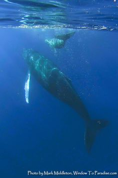 Momma and Baby Humpback. Taken off Maui