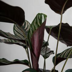 Calathea ornata 'Sanderiana 2