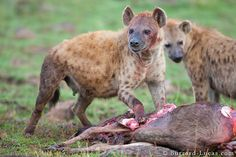 Spotted Hyena - proficient hunter, female dominant society, willing scavenger, very strong bite.