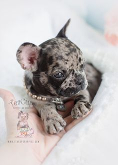 BlueStar Frenchie | French Bulldog Puppies For Sale In