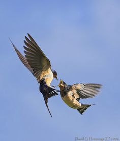 Barn Swallows Mid Air Feeding