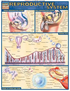 This 2-page guide contains detailed, labeled illustrations of the reproductive system. Illustrations are by award-winning medical illustrator Vince Perez. Browse and download thousands of educational eBooks, worksheets, teacher presentations, practice tests and more at Examville.com - The Education