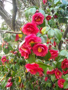 Camelia in bloom, Summerville, SC (My Own)