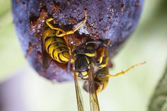Paper Wasps consuming a plum