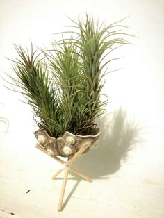 #plantasdeaire #airplants #tillandsias #evergreenlanzarote #livingart #seahurchins #tillandsiafunckianapulk #homedecor