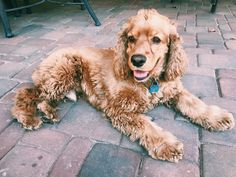 Cocker Spaniel Puppy | Photo by randiward16