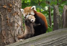 Lushui, the red panda holds her three month old panda cub in her jaws in the panda enclosure at Chester zoo