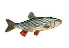 Fish Cake Birthday, Favorite Pastime, Fish Art, Freshwater Fish, Fresh Water, Fishing, Cork, British, Printables
