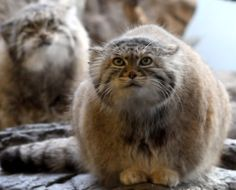 Pallas's cat was named after the German naturalist Peter Simon Pallas, who first described the species in 1776 under the binomial Felis manul.